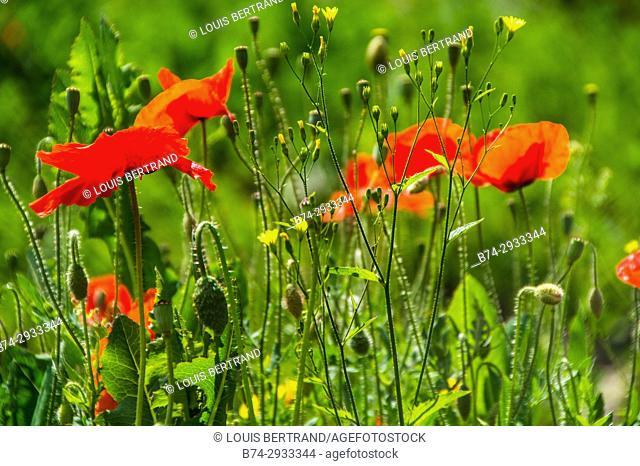 Flowers, Saint Etienne, Loire, France