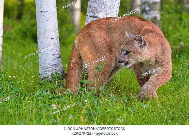 Mountain lion (Puma concolor) Captive raised, Minnesota wildlife Connection, Sandstone, Minnesota, USA