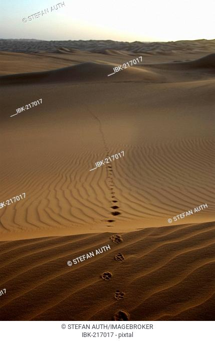 Long track of a Fennec fox Vulpes zerda in sanddunes Mandara Libya