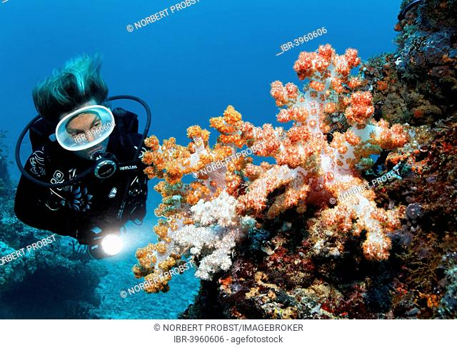 Scuba diver looking at Klunzinger's Soft Coral (Dendronephthya klunzingeri) at a coral reef, Embudu Channel, Indian Ocean, Tilla or Tila, South Malé Atoll