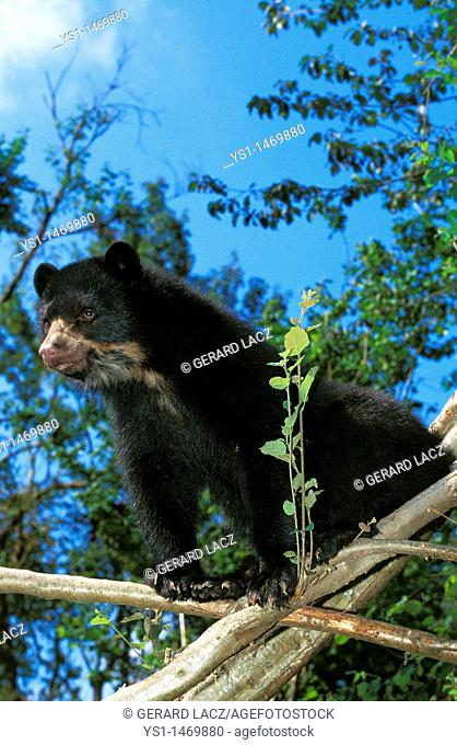 Spectacled Bear, tremarctos ornatus, Adult standing on Branch