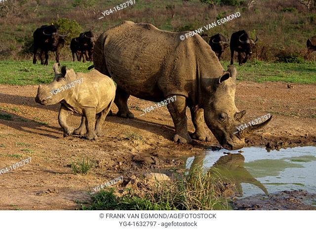 White Rhinoceros calf at waterhole Hluhluwe-Imfolozi Game Reserve, Kwazulu-Natal, South Africa