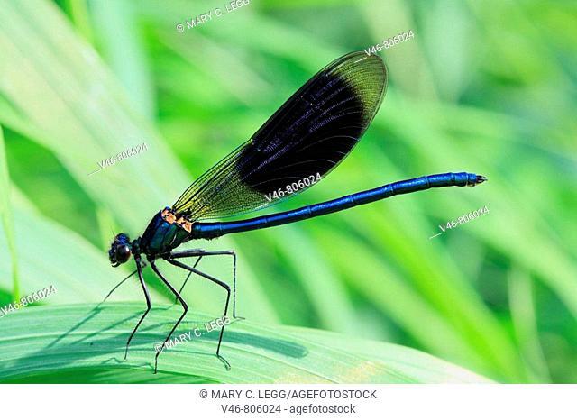 Calopteryx splendens, Banded Demoiselle on a rush Calopteryx splendens, Banded Demoiselle on a rush near the Beroun River