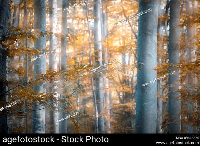 beech forest in autumn, blur effect, agordino, belluno, italy