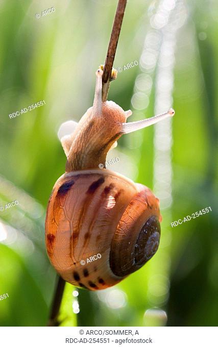 Brown Garden Snail Germany Cornu aspersum Helix aspersa Cryptomphalus aspersus Cantareus aspersus