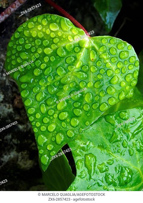 Heart shaped leaf of Ivy (Hedera helix) at Pisón de Fondón organic farmhouse. Villandás village. Grado council. Asturias autonomous community. Spain