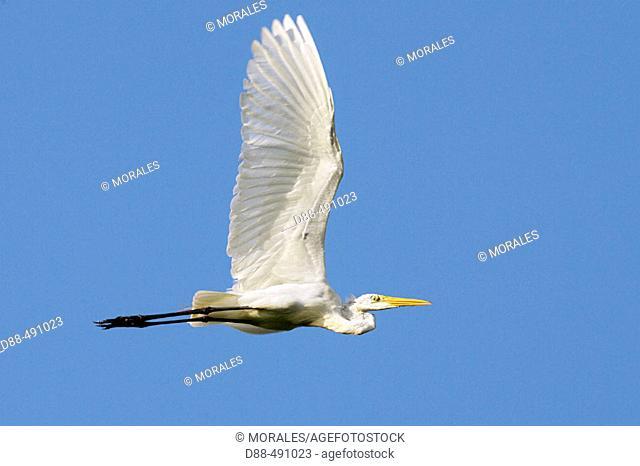 Great White Egret (Egretta alba). Venezuela