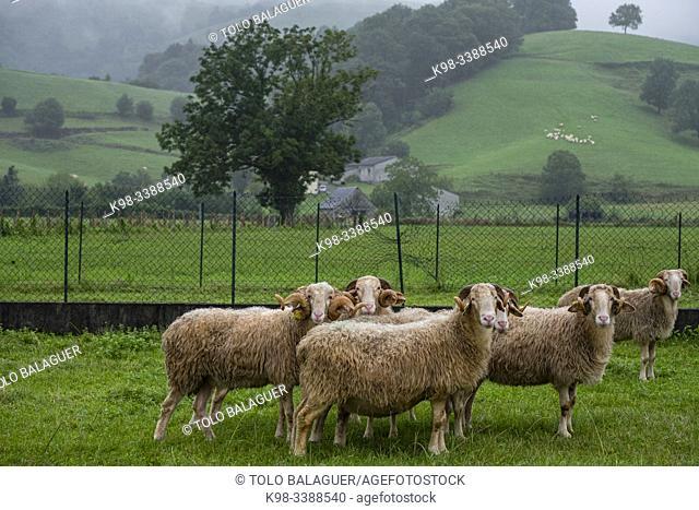 French Laxas sheep, Aquitaine region, department of Pyrénées-Atlantiques, France