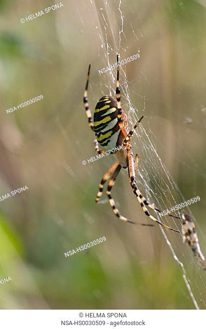 wasp spider, zebra spider - spider of the year 2001