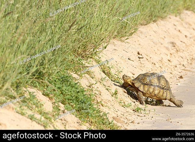 Leopard tortoise (Stigmochelys pardalis), adult, crossing the dirt road, Kgalagadi Transfrontier Park, Northern Cape, South Africa, Africa