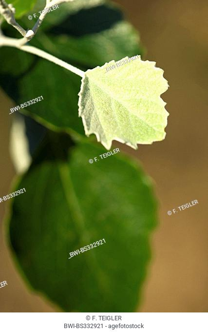 white poplar, silver-leaved poplar, abele (Populus alba), young leaf, Germany