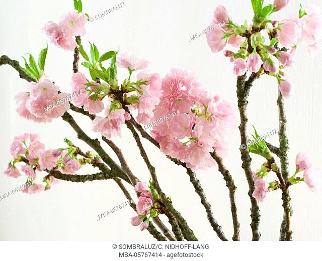 blossoming cherry branches