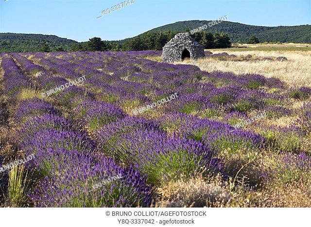 lavender fields on Ferrassieres. the drôme, france
