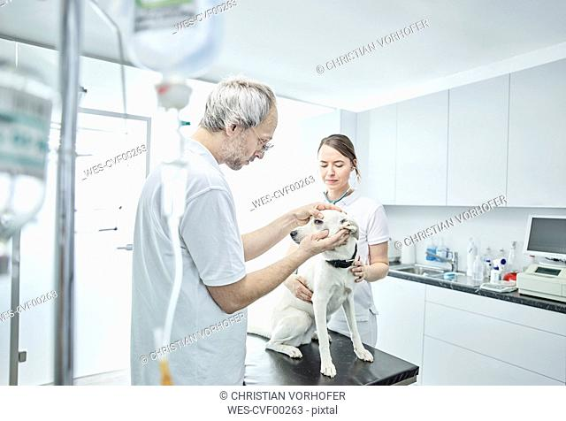 Veterinarian examining dog's eye, veterinarian assistant