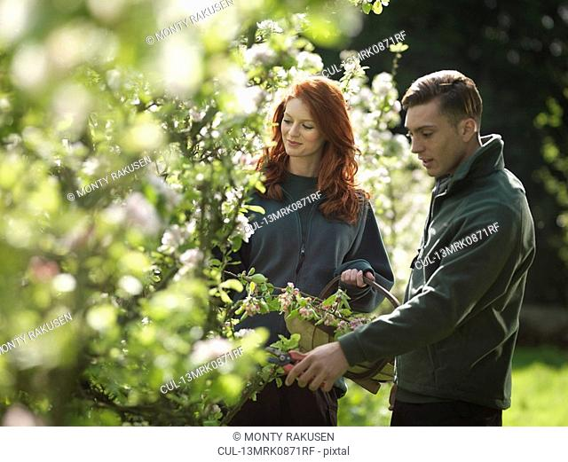 Couple Cutting Apple Blossom In Orchard