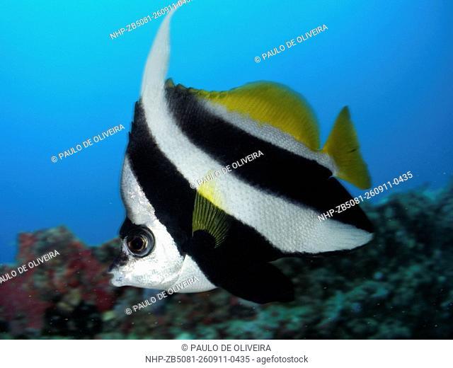 Pennant coralfish, Heniochus acuminatus. Composite image. Portugal