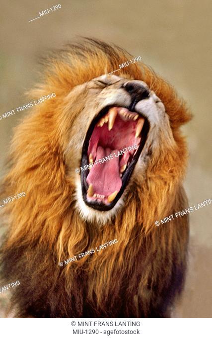 Lion yawning, Panthera leo, Masai Mara Reserve, Kenya