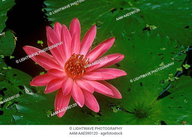 Antares Night Blooming Waterlily (Nymphaea) Slocum Water Gardens, Florida