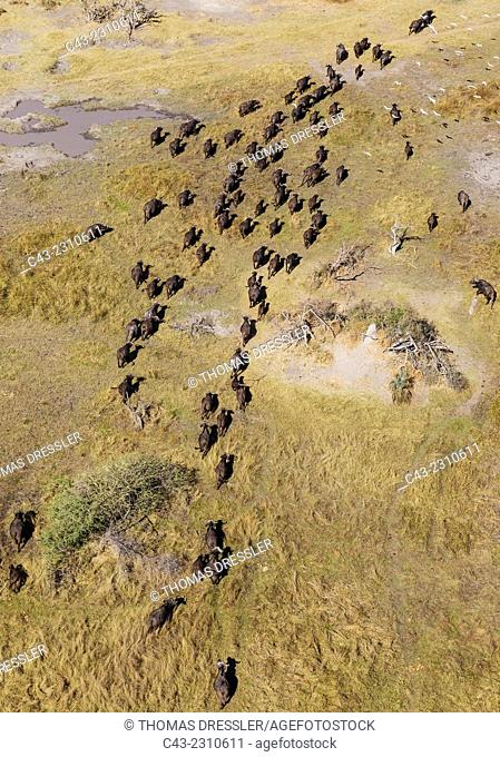 Cape Buffalo (Syncerus caffer caffer), roaming herd, the white birds are Cattle Egrets (Bubulcus ibis), aerial view, Okavango Delta, Moremi Game Reserve