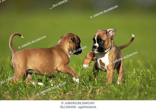 Boxer. Two puppies playing on a meadow. Germany