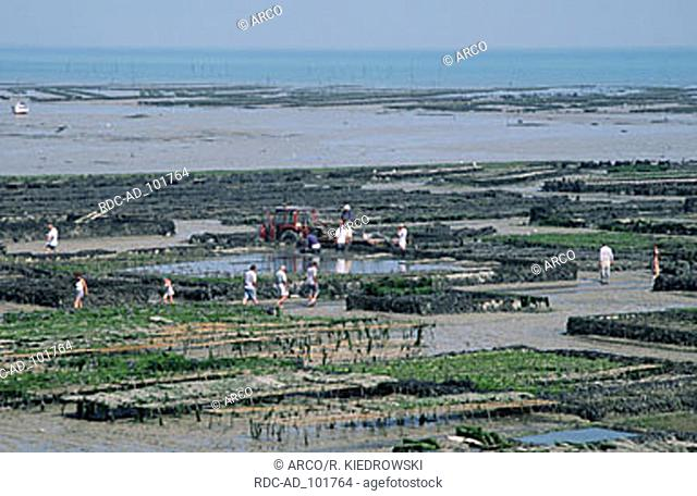 Oyster beds at low tide Cancale Brittany France