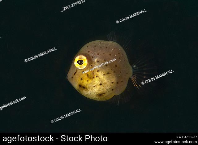 Juvenile Taylor's Inflator Filefish (Brachaluteres taylori), Jadi-Jadi dive site, Lembeh Straits, Sulawesi, Indonesia