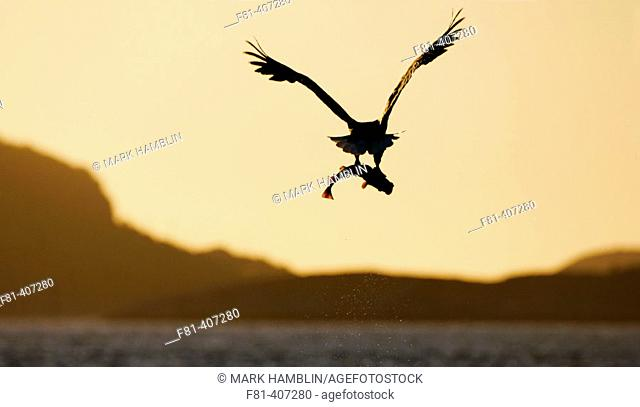 White-tailed Eagle (Haliaeetus albicilla) silhouetted in flight at sunset, carrying fish. Norway