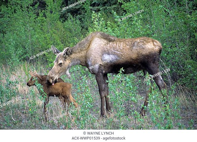 Cow moose Alces alces grooming one of her twin calves, Denali National Park, Alaska. Hairless patch on mother's side probably due to scratching because of...