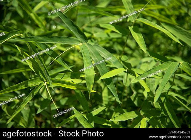 Bamboo leaves background, Abstract Background