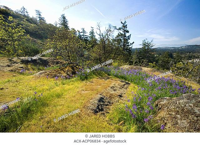 Garry Oak Habitat and spring flowers at the summit of Mill HIll, Victoria, Vancouver Island, British Columbia, Canada