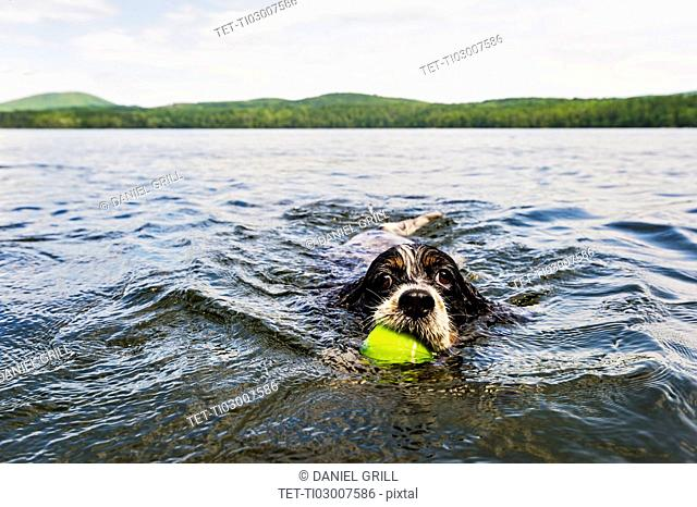 Dog swimming in lake holding ball in mouth