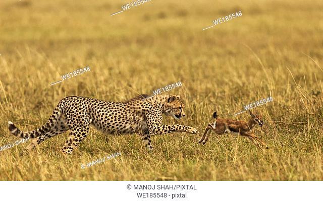 Cheetah hunting Thomson's Gazelle
