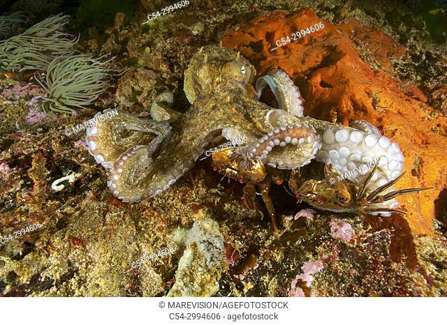 Common Octopus (Octopus vulgaris) hunting Devil crab. Swimming crab. Velvet fiddler. Velvet Swimming Crab (Necora puber). Eastern Atlantic. Galicia