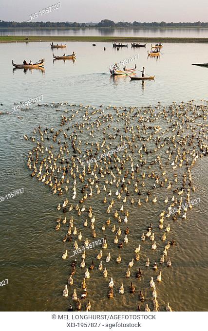 Boatman in canoe shepherding ducks on Taungthaman Lake, Amarapura, Mandalay, Myanmar, (Burma)