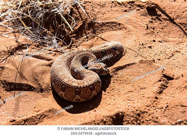 Side-winding Adder. Namib Desert, Namibia