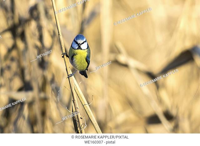 A bluetit is sitting on a branch. Germany
