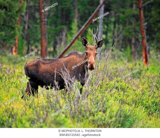 moose, elk (Alces alces), female, USA, Grand Teton NP