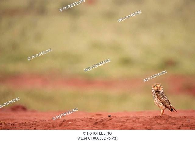 South America, Brasilia, Mato Grosso do Sul, Pantanal, Burrowing Owl, Athene cunicularia