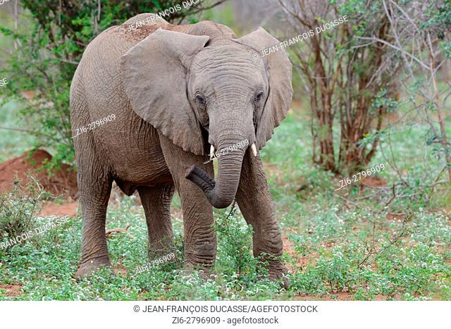 African bush elephant (Loxodonta africana), young, feeding, Kruger National Park, South Africa, Africa