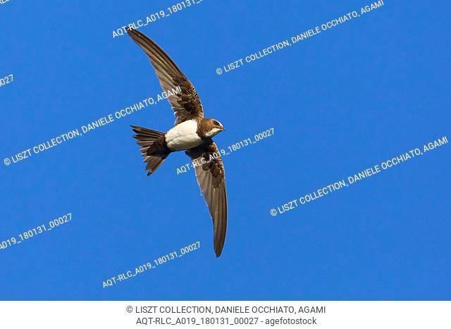 Alpine Swift in flight, Alpine Swift, Tachymarptis melba