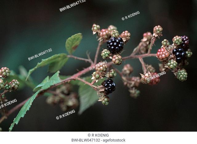 shrubby blackberry Rubus fruticosus agg., infructescence