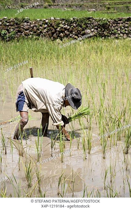 Rice Farmer, Batad Village, Northern Luzon. Philippines