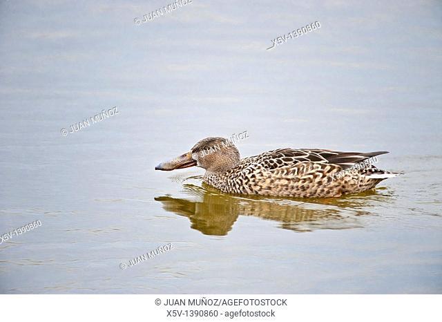 Northern Shoveler (Anas clypeata), female, Tablas de Daimiel National Park, Ciudad Real province, Castilla-La Mancha, Spain