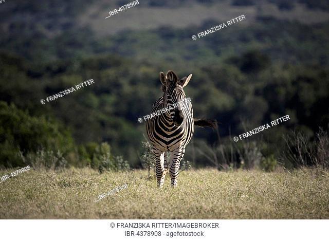 Burchell's zebra, common or plains zebra (Equus quagga), Addo Elephant National Park, South Africa