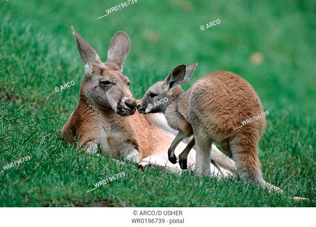 Red, Kangaroos, female, with, young,Macropus, rufus
