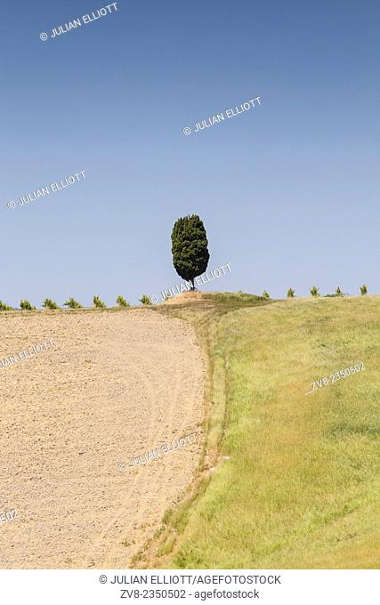 A cypress tree in the Val d'Orcia, Tuscany. The area has been protected by UNESCO as a World Heritage Site. The landscape's distinctive aesthetics