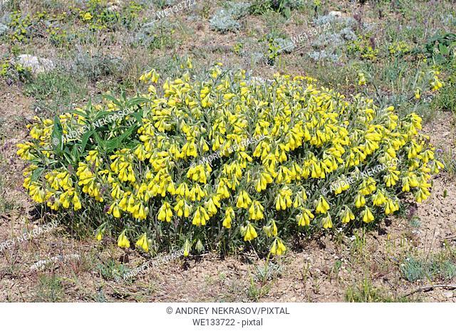 Golden-flowered Onosma (Onosma taurica) Crimea, Ukraine, Eastern Europe