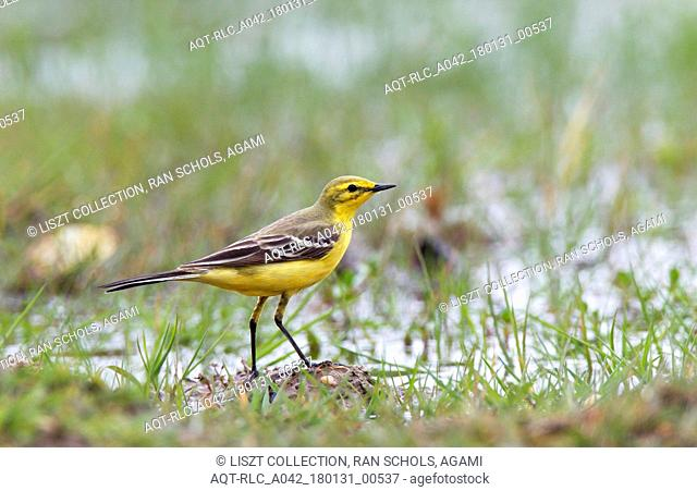 Male Yellow Wagtail foraging in wet grassland