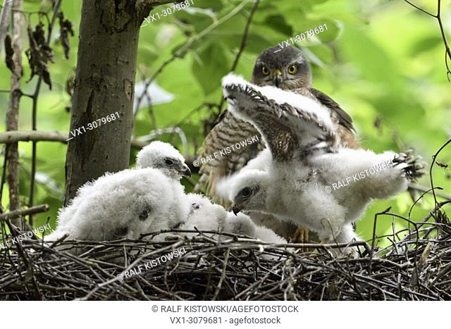 Sparrowhawk ( Accipiter nisus ), adult female watching for its adolescent chicks, young birds in nest training skills, fluttering with wings, wildlife, Europe