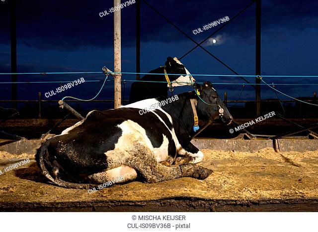 Cows on water beds in modern dairy farm, Wyns, Friesland, Netherlands